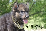 Picture of Sycee- Sable Male