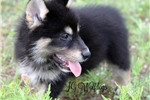 Picture of Strenga- Black Male Wolf Hybrid