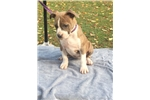 Picture of AKC registered Am Staff Terrier Puppy
