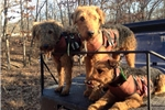 Picture of Rock Creek Airedales