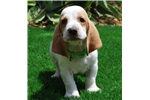 Basset Hounds for sale