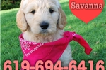 Savanna the GoldenDoodle  | Puppy at 8 weeks of age for sale