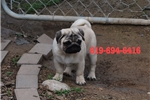 Picture of AKC Show Quality Female