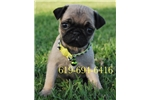Picture of Benji the Pug