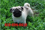 Picture of AKC Show Quality Male