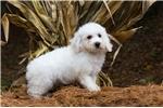 Picture of Reg. Bichon Frise Puppy - Cotton