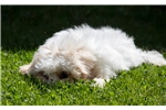 Picture of Male Cavachon Puppy - Charlie