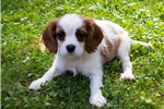 Picture of Blenheim Cavalier Puppy - Pecan