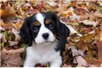 Picture of Tri Female Cavalier - Lexi