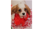 Picture of AKC Blenheim Cavalier King Charles Spaniel - Kirby