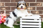 Picture of AKC Male Havanese Puppy - Jerry