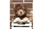 Picture of AKC Male Havanese Puppy - Ben
