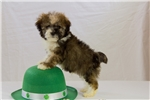 Picture of Havanese/Shipoo Puppy - Toby