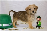 Picture of Female Havanese/Shipoo - Shasta