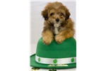 Picture of Havanese/Shipoo Puppy - Jax