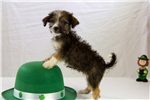 Picture of Female Havanese/Shipoo Puppy - Sprite