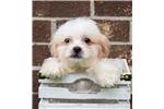 Picture of Female Malshi Puppy (Maltese - Shih Tzu) - Peanut