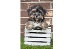Picture of Tiny Male Morkie/Yorktese Puppy - Rudy