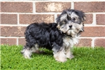 Picture of Tiny Male Morkie (Maltese - Yorkie) Puppy - Willie