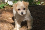 Picture of Male Morkie (Yorktese) Puppy - Joey