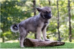 Picture of AKC Male Norwegian Elkhound Puppy - Cody