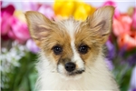 Picture of Male Pomeranian - Yorkie Puppy - Louie