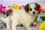 Picture of Male Pomeranian - Yorkie Puppy - Jordy