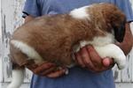 Picture of Purebred Female St. Bernard Puppy - Bubbles