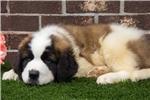 Picture of Male St. Bernard Puppy - Apollo
