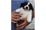 Picture of Purebred Female St. Bernard Puppy - Lola