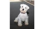 Picture of Reg. White Schnauzer Puppy - Jack