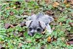 Picture of Reg. S/P Schnauzer Puppy - Squirt