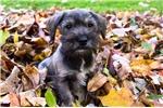 Picture of Reg. Male Mini Schnauzer Puppy - Rusty