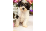 Picture of Male Schnoodle Puppy - Nugget