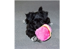 Picture of Female Schnauzer Bichon Puppy - Brooklyn