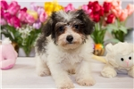 Picture of Male Schnoodle (Schnauzer - Poodle) - Percy