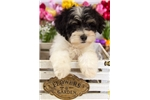 Picture of Male Schnoodle Puppy - Wally