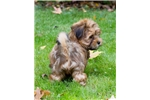 Picture of Shorkie Puppy - Apple