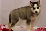 Picture of AKC Blue Eyed Female Siberian Husky - Myka