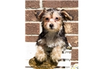 Picture of Female Yorkie Bichon Puppy - Mitzi