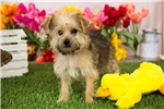 Picture of Female Yorkie - Poodle Puppy - Trixie