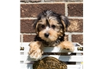 Picture of Female Yorkie Bichon Puppy - Sasha