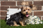 Picture of Female Yorkie Bichon Puppy - Suzi