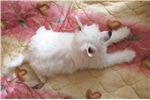 Picture of Lucky - beautiful white with cream Powderpuff Male