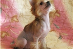 Picture of Monica - hairy hairless Female