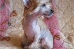 Picture of Mag - hairy hairless Male