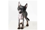 Picture of True hairless Male - Lucca