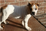 Picture of Gorgeous 100% Johnson American Bulldog Female