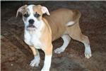 Picture of Beautiful, athletic 100% Johnson American Bulldog