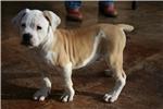Picture of One Sharp Male 100% Johnson American Bulldog